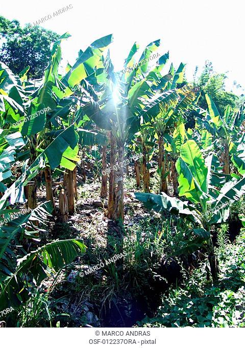 some natural green bananas trees plantation