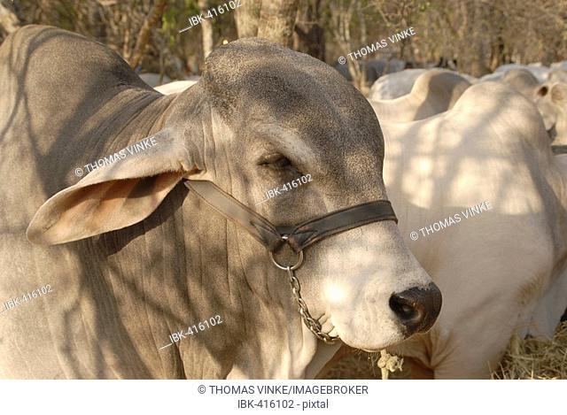 Portrait of a breeding bull of the hornless zebu like Brahman race, Gran Chaco, Paraguay