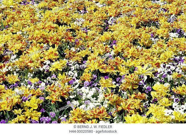 Germany, Lower Saxony, bath Castle Dri, Flowerbed with tulips and pansies, flowers, plants