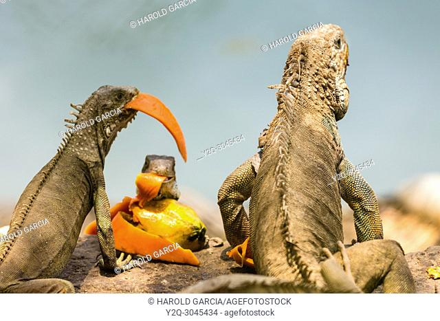 iguanas feeding on husks and pieces of fruit in Santa Marta. Colombia, South America