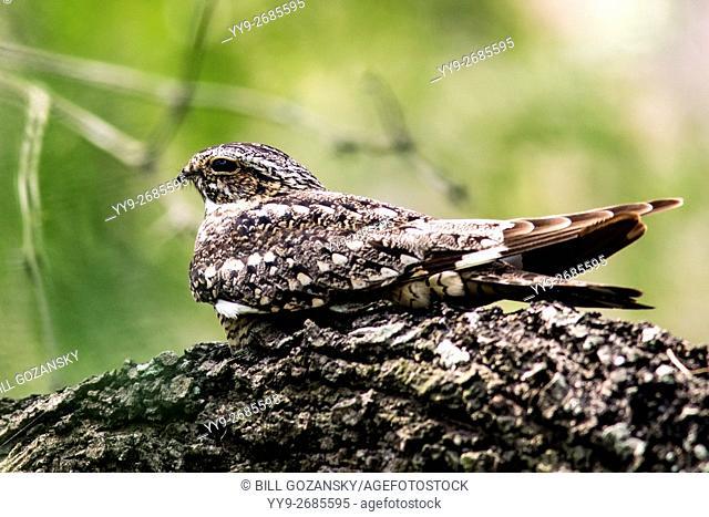 Nighthawk Species - Camp Lula Sams - Brownsville, Texas, USA