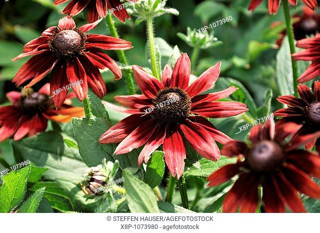 Cone flower Rudbeckia hirta 'Cherry Brandy'