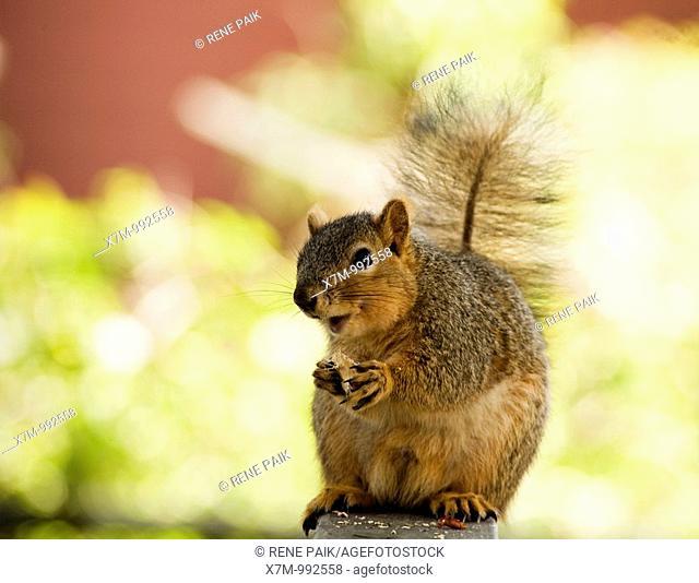 A happy fox tree squirrel Sciurus niger eating a nut  Order: Rodentia Family: Sciuridae Subfamily: Sciurinae Genus: Sciurus Subgenus: Sciurus