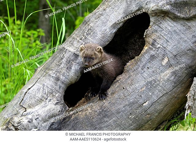Fisher (Martes pennanti), alert young portrait in hollow log, Sandstone, Minnesota, USA