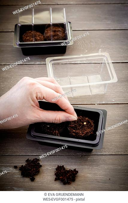Sowing of herbs in miniature greenhouse