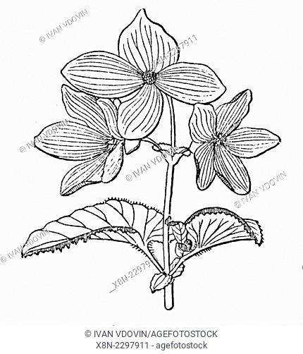 begonia flower illustration from soviet encyclopedia 1927 stock  begonia flower illustration from soviet encyclopedia 1927 stock photo picture and rights managed image pic x8n 2297911 age fotostock