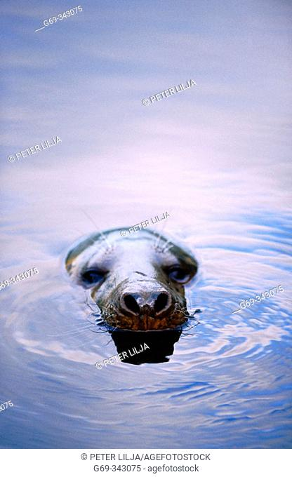 Grey Seal (Halichoerus grypus) in the water. Lycksele, Västerbotten, Sweden