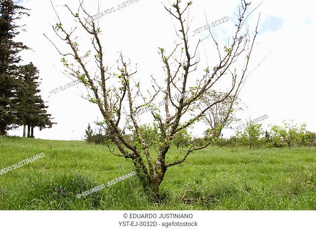 Peach tree Prunus persica, Vacaria, Rio Grande do Sul, Brazil