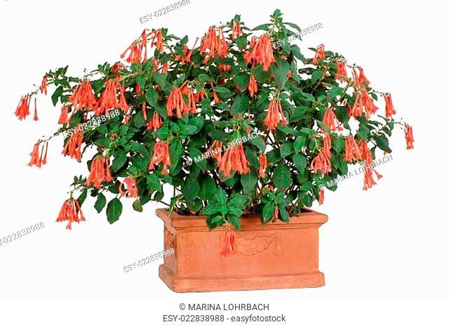 Fuchsia fulgens, Fuchsie im Tontopf