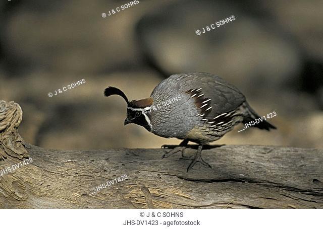 Gambel`s Quail Callipepla gambelii Sonora Desert Arizona USA