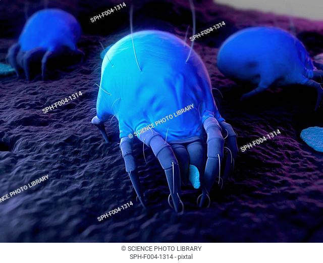 Dust mites. Computer artwork of house dust mites Dermatophagoides pteronyssinus
