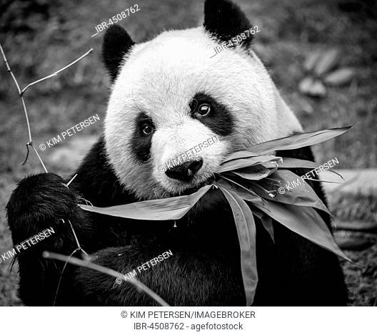 Giant panda (Ailuropoda melanoleuca), Macao Giant Panda Pavilion, Macau, China