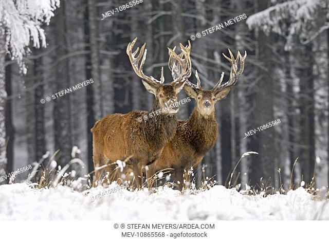 Red Deer - in winter snow (Cervus elaphus). Germany