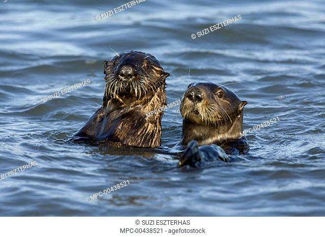 Sea Otter (Enhydra lutris) mother and three to six month old pup, Monterey Bay, California