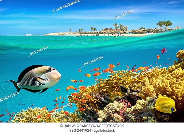 Underwater view at fishes and coral reef, Marsa Alam, Abu Dabbab Bay, Red Sea, Egypt