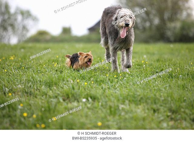 Australian Terrier Canis lupus f. familiaris, running through a meadow with an Irish Wolfhound