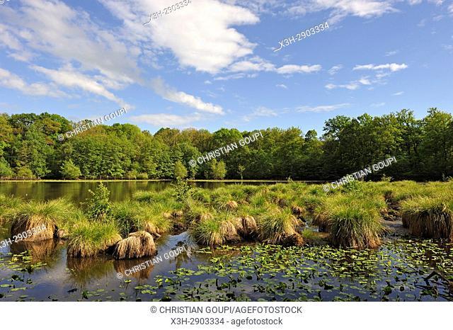 Laiche paniculee (Carex paniculata), Etang de Guiperreux en lisiere de la Foret de Rambouillet, Parc naturel regional de la Haute Vallee de Chevreuse