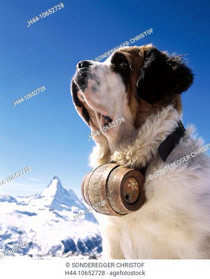 10652728, alpine, Alps, mountains, St. Bernard dog, barrel, dog, Matterhorn, landmark, mountain, Switzerland, Europe, portrait