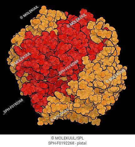 Gamma-glutamyltranspeptidase 1, illustration