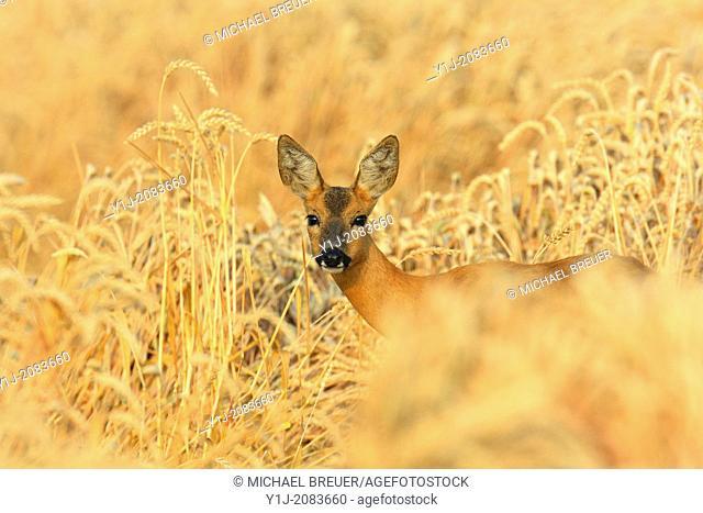 Roe deer in wheat field, Doe, Capreolus capreolus, Hesse, Germany, Europe