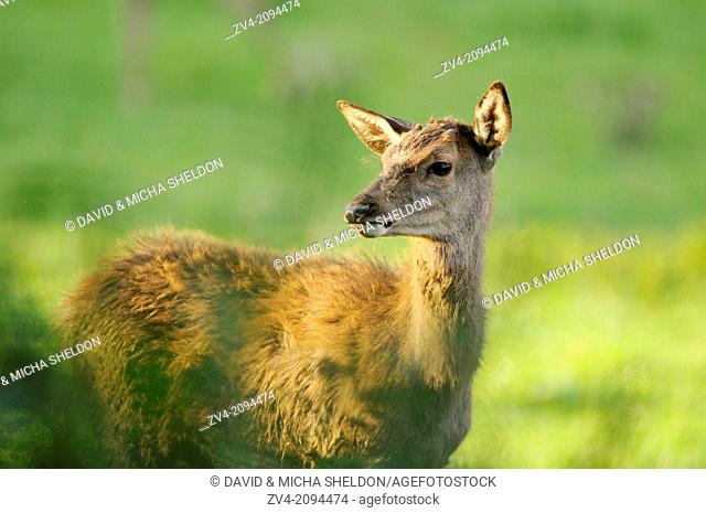 Portrait of a red deer (Cervus elaphus) female standing on a meadow