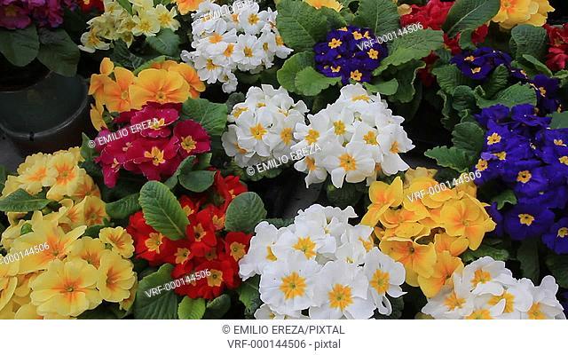Primroses in a garden center. Luchon. France