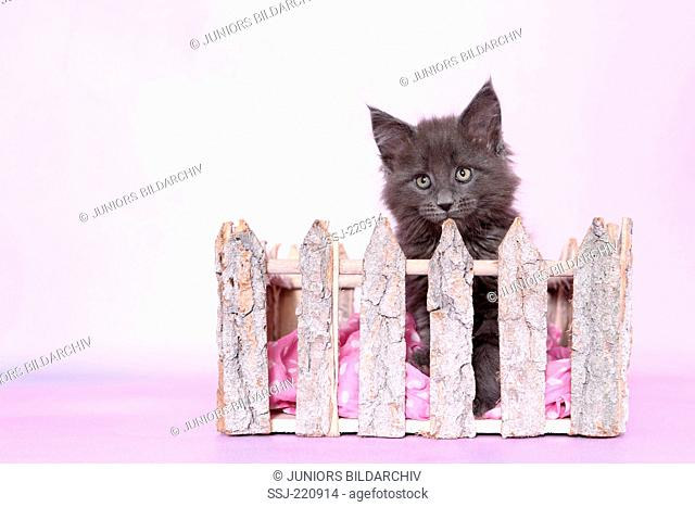 American Longhair, Maine Coon. Blue kitten (8 weeks old) looking over a fence. Germany. Studio picture seen against a pink background