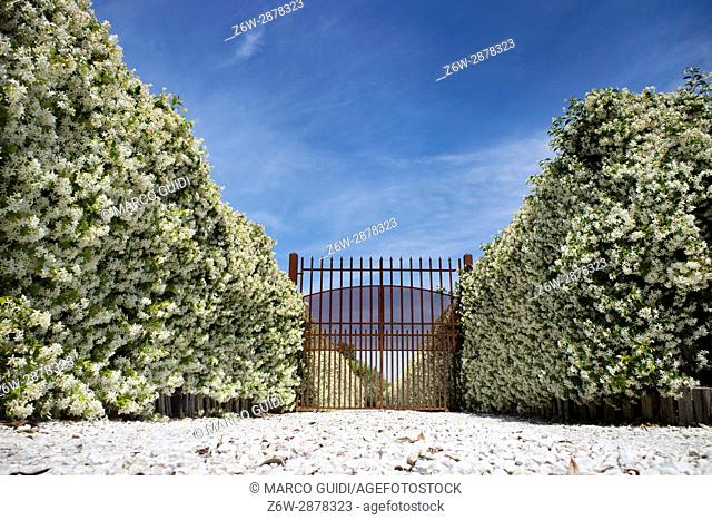 Entrance Boulevard covered with jasmine in white flower