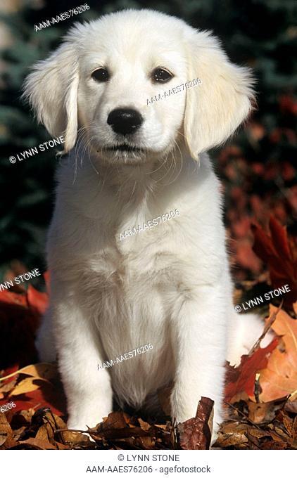 Golden Retriever Puppy (English )