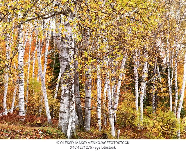 Fall nature scenery of birch trees with colorful yellow leaves in a forest  Arrowhead Provincial Park, Ontario, Canada