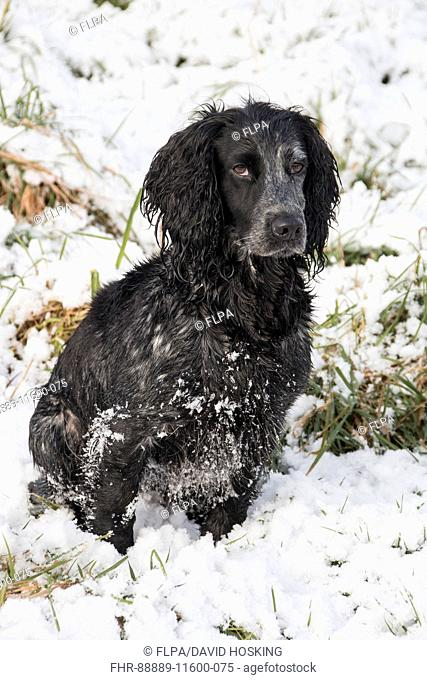 Domestic Dog, Working Cocker Spaniel, female, sitting in snow, Suffolk, England, March