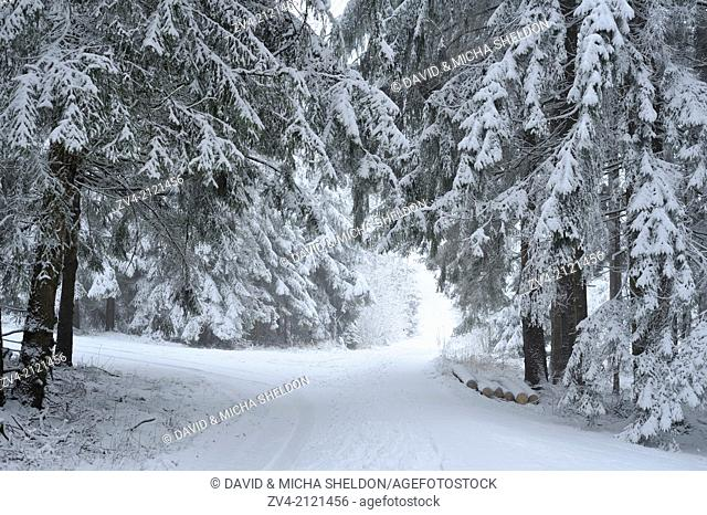 Landscape of a forest with Norway Spruces (Picea abies) in winter, Germany