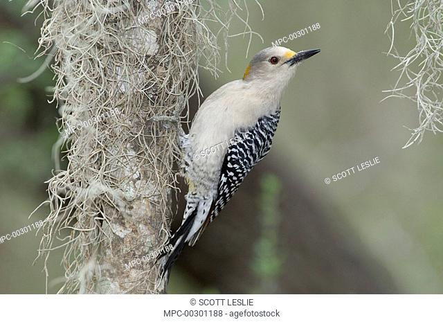 Golden-fronted Woodpecker (Melanerpes aurifrons) female, Santa Ana National Wildlife Refuge, Texas