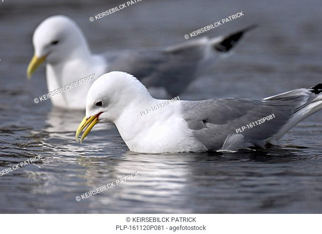 Black-legged kittiwakes (Rissa tridactyla) picking up food from water's surface at sea