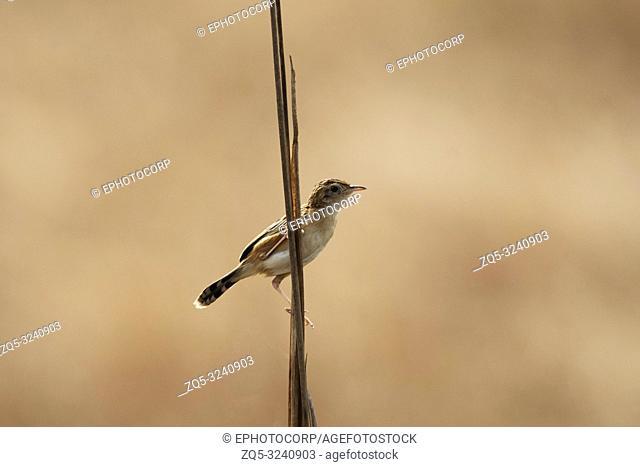 Zitting Cisticola, Cisticola juncidis, Kanha Tiger Reserve, Madhya Pradesh, India