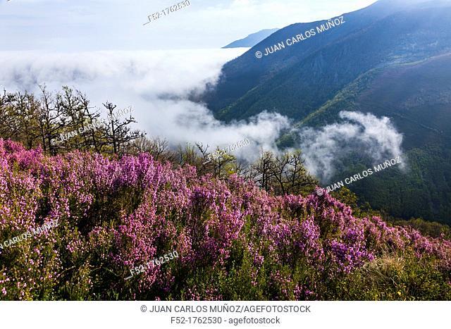HEATHER Erica australis, Fuentes del Narcea, Degaña e Ibias Natural Park, Asturias, Spain, Europe