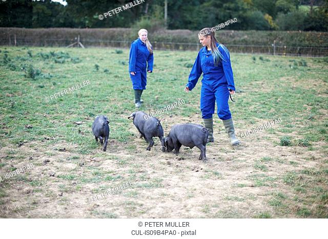 Two farm workers tending to pigs