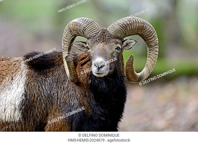 France, Moselle, Animal Park Saint Croix, Rhodes, Corsican mouflon (Ovis gmelini musimon), male