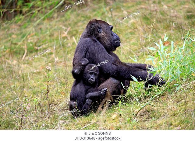 Lowland Gorilla, (Gorilla gorilla), Africa, adult female with young feeding