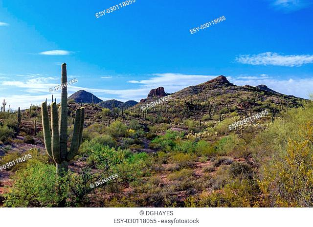 Countless giant Saguaro cactus dot the arid landscape of Arizona's Sonoran desert, along with numerous other succulents and desert plants