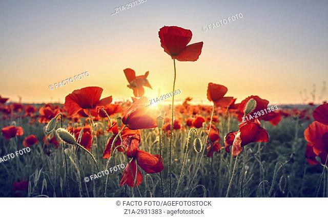 Red poppy flowers field. Getafe, Community of Madrid. Spain
