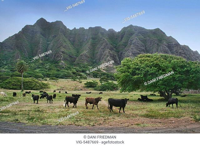 UNITED STATES OF AMERICA, OAHU, 11.07.2007, Cattle graze across the road from Kualoa Beach Park on O'ahu Island, Hawaii, USA