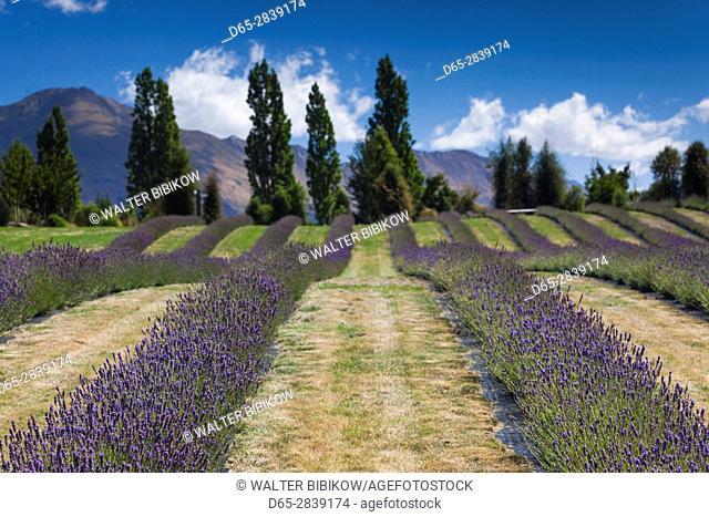 New Zealand, South Island, Otago, Wanaka, lavender farm
