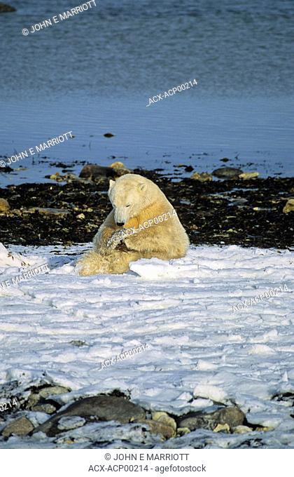 The praying polar bear, Manitoba, Canada