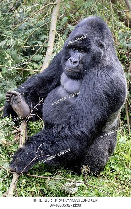 Mountain Gorilla (Gorilla beringei beringei) of the Nyakagezi group, Mgahinga Gorilla National Park, Uganda