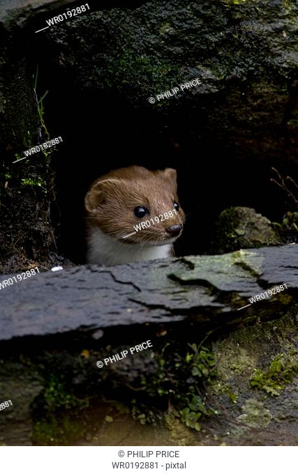 Weasel Mustela nivalis looking out a hole in an old wall Loch Awe, nr Oban, Scotland, UK