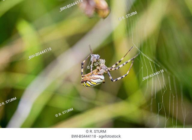 Black-and-yellow argiope, Black-and-yellow garden spider (Argiope bruennichi), wrapping preyed insect, Austria, Tyrol