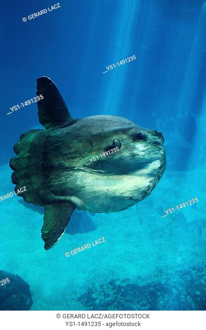 Sunfish, mola mola, Adult