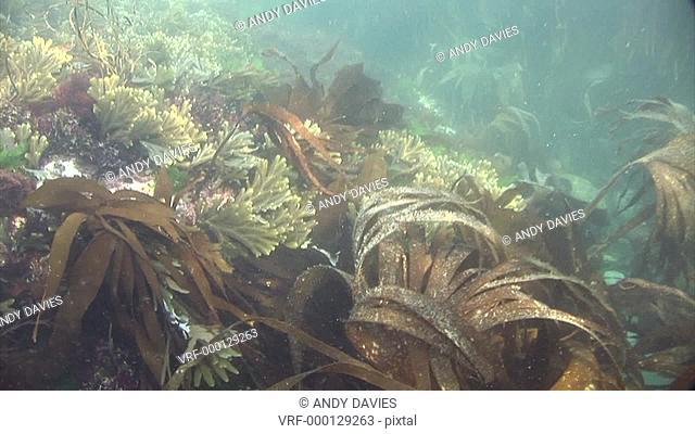 seaweed. Pembrokeshire, Wales, UK