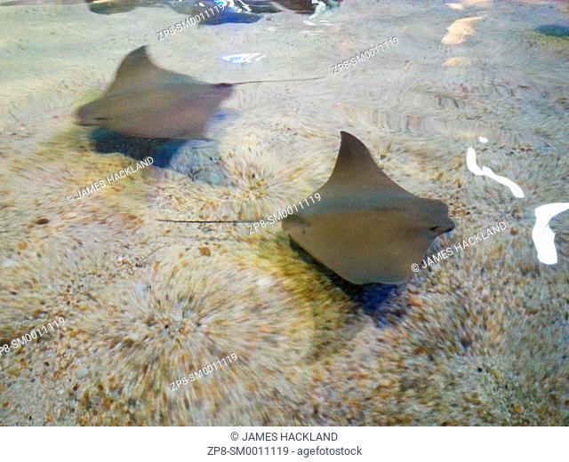 Sting Rays swimming in shallow water at 'Ripley's Aquarium', Toronto, Ontario, Canada